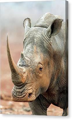 White Rhino Portrait Canvas Print by Peter Chadwick