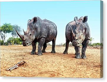 White Rhinoceros Bulls Canvas Print
