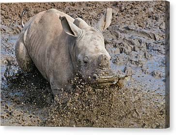 White Rhinoceros Calf Canvas Print by Peter Chadwick