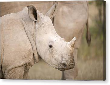 White Rhinoceros Calf Canvas Print