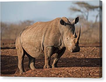 White Rhinocreos Canvas Print by Tony Camacho