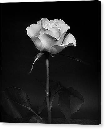 Canvas Print featuring the photograph White Rose #02 by Richard Wiggins