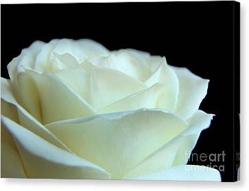 White Avalanche Rose Canvas Print by Eden Baed