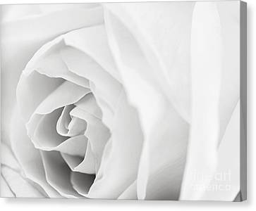 White Rose Canvas Print by Elena Elisseeva