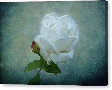White Rose On Blue Canvas Print