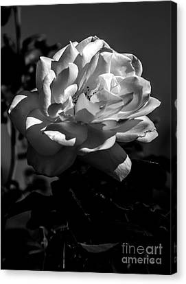 Haybales Canvas Print - White Rose by Robert Bales