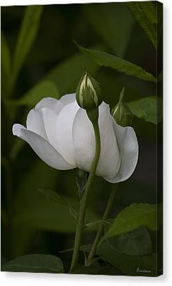 White Rose With Buds Canvas Print by Michael Friedman