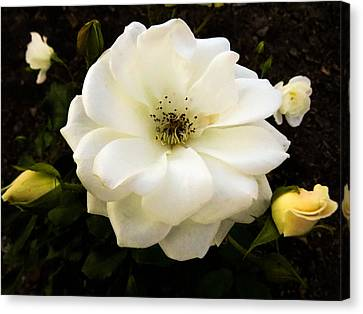 Floral Canvas Print - White Rose With Buds by Zina Stromberg