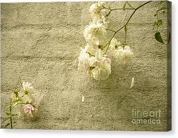 White Roses On A Wall Canvas Print