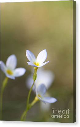 White Serenity Canvas Print by Neal Eslinger