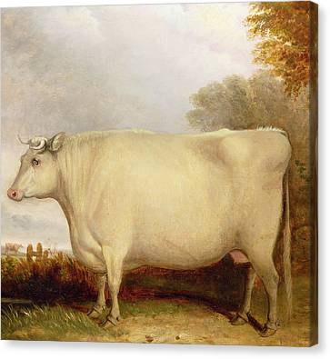 White Short-horned Cow In A Landscape Canvas Print by John Vine