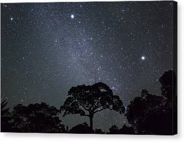 White Silk Floss Tree And Starry T Sky Canvas Print