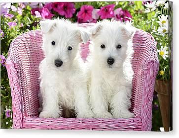 White Sitting Dogs Canvas Print by Greg Cuddiford