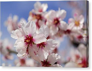 White Spring Almond Flowers Canvas Print by Guido Montanes Castillo