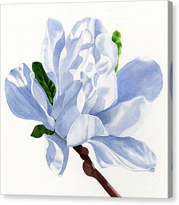 White Star Magnolia Blossom White Background Square Design Canvas Print by Sharon Freeman