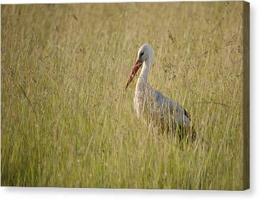 Canvas Print featuring the photograph White Stork by Antonio Jorge Nunes