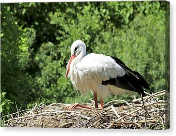 Canvas Print featuring the photograph White Stork  by Teresa Zieba