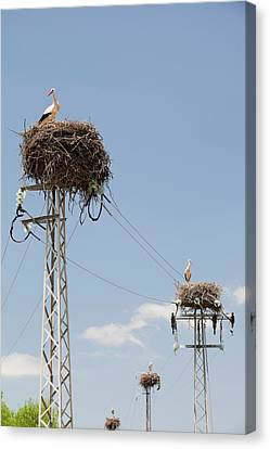 White Storks Nesting Canvas Print by Ashley Cooper