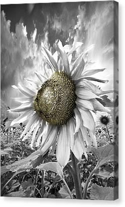 White Sunflower Canvas Print by Debra and Dave Vanderlaan