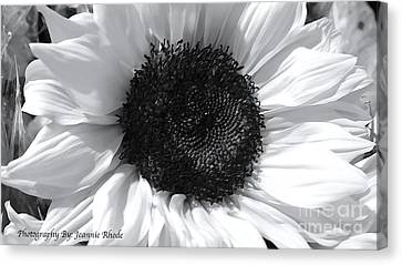 Canvas Print featuring the photograph White Sunflower by Jeannie Rhode