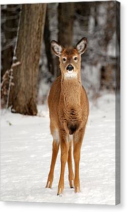 Whitetail In Snow Canvas Print by Christina Rollo