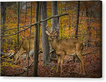 White Tail Deer Bucks In An Autumn Woodland Forest Canvas Print by Randall Nyhof