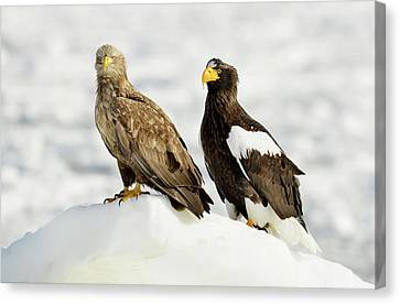 White-tailed And Steller's Sea Eagles Canvas Print by Dr P. Marazzi