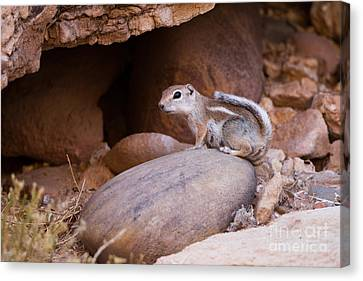 White-tailed Antelope Squirrel Canvas Print