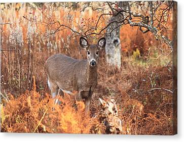 White Tailed Deer In Autumn Meadow Canvas Print by John Burk