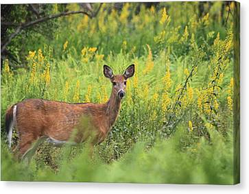 White Tailed Deer In Goldenrod Meadow Canvas Print by John Burk