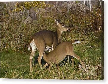 White-tailed Deer Nursing Canvas Print by Linda Freshwaters Arndt