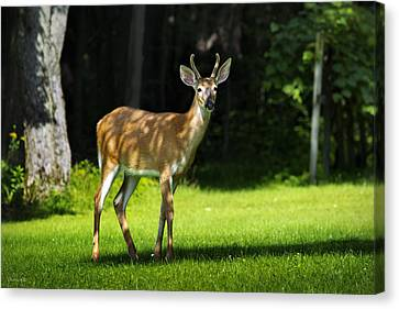Young Buck Canvas Print by Christina Rollo