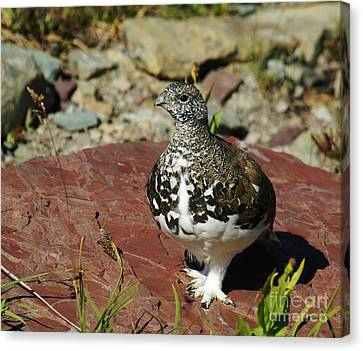 Canvas Print featuring the photograph White-tailed Ptarmigan by Sue Smith
