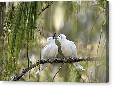 Bonding Canvas Print - White Terns (gygis Alba Rothschildi by Daisy Gilardini