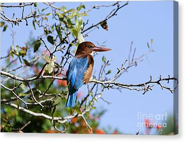 White-throated Kingfisher 04 Canvas Print by Arik Baltinester