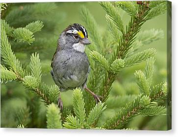 White-throated Sparrow Male In Breeding Canvas Print by Scott Leslie