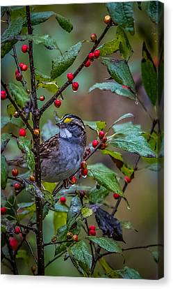 White Throated Sparrow Canvas Print by Paul Freidlund