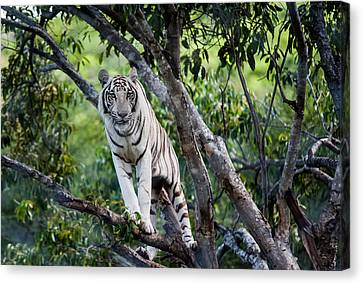 White Tiger On The Tree Canvas Print by Jenny Rainbow