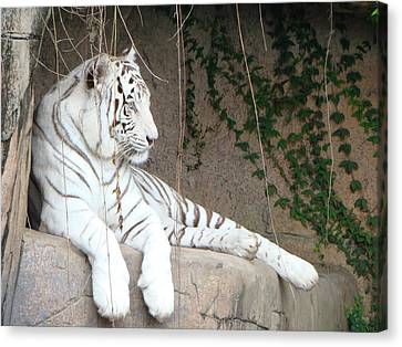 White Tiger Resting Canvas Print by Phyllis Beiser