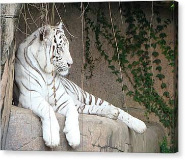 White Tiger Resting Canvas Print