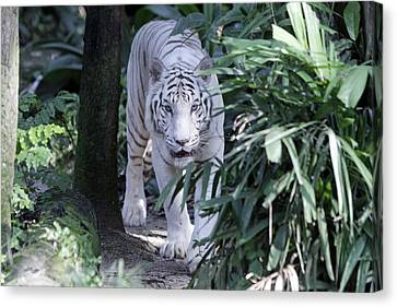 Canvas Print featuring the photograph White Tiger  by Shoal Hollingsworth
