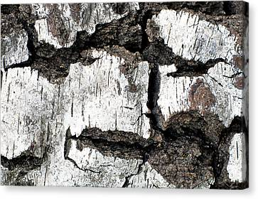 Canvas Print featuring the photograph White Tree Bark by Crystal Hoeveler