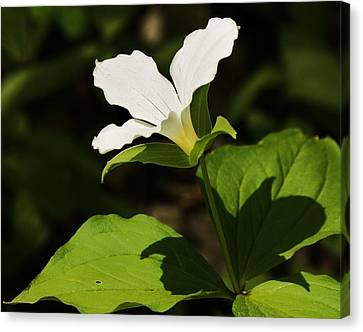 Canvas Print featuring the photograph White Trillium by Al Fritz