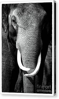White Tusks Canvas Print by John Rizzuto