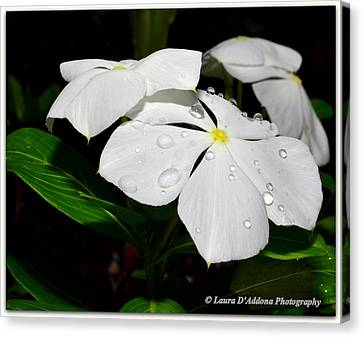 White Vincas Canvas Print by Laura DAddona
