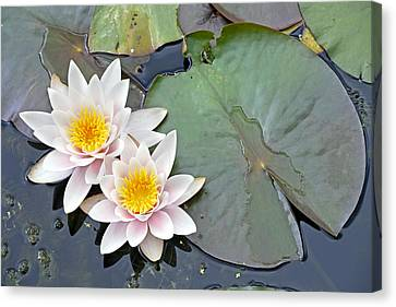 White Water Lilies Netherlands Canvas Print