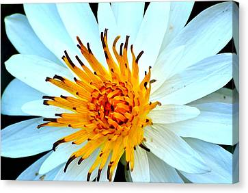 Canvas Print featuring the photograph White Water Lilly II by Jodi Terracina