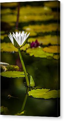 White Water Lily Canvas Print by Julio Solar