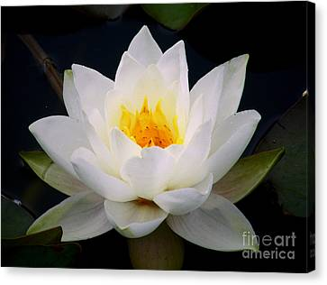 White Water Lily Canvas Print by Nina Ficur Feenan