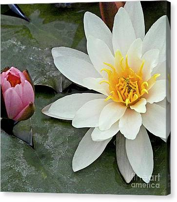 White Water Lily Nymphaea Canvas Print by Heiko Koehrer-Wagner
